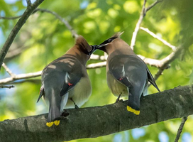 Cedar waxwings 008 by Elluka-brendmer