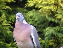 Wilber the Wood pigeon by jennypip
