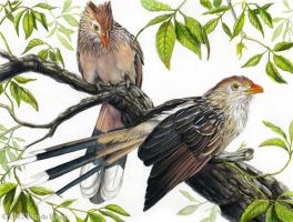 Guira Cuckoo by windfalcon