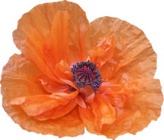 Poppy PNG 01 by Thy-Darkest-Hour