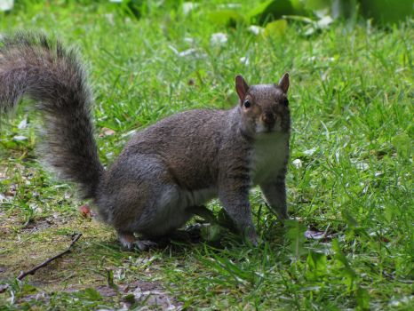 Another Squirrel by The-Brade