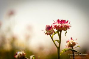 Summer flowers by vertiser