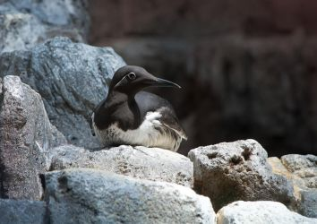 Resting murre by Elaihr