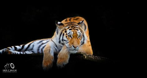 Siberian Tiger by MikeFShaw