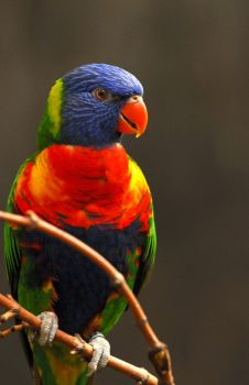 Lorikeet Portrait by Shadow-and-Flame-86