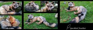 Gray Fox Soft Mount by Speckled-Feather-UK