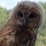 Right into the soul of the Tawny Owl.. by Pixie-Aztechia