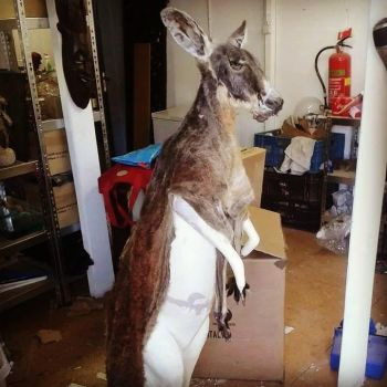 mounting a kangeroo by Museumwinkel