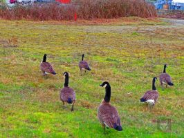 Guys A Odd Goose Is Following Us by wolfwings1