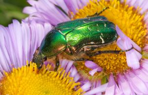 Much love for the Green Rose Chafer 3 by Vitaloverdose
