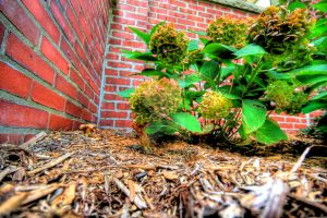 HDR Hydrangea and Brick by Mooseushi