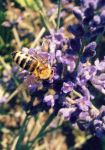 Lavender Bee by Nikoleta036