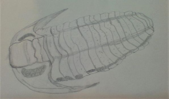 Trilobite drawing (unidentified species) by Dracorider19