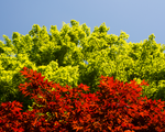 Japanese Maple by TheScratcher