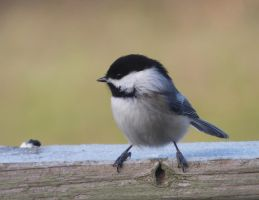 Black-capped Chickadee II by AppleBlossomGirl