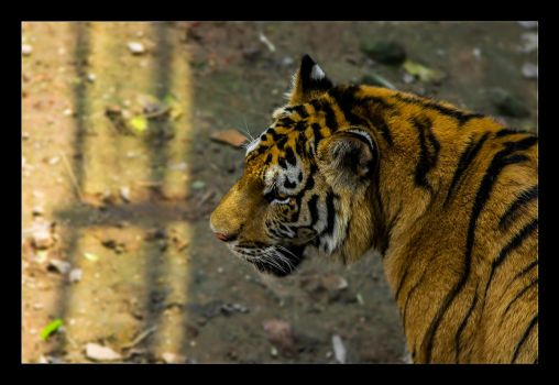 Tiger On the Prowl by WiDoWm4k3r