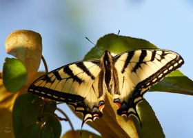 Swallowtail by JestePhotography