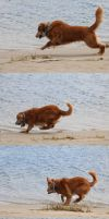 Action Series 1: Lunge and Stop - Golden Retriever by HOTNStock