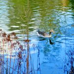 Paper Cutout Brent Goose On Kelsey Park Lake by aegiandyad