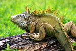 Grumpy green iguana by GlobalGraphic