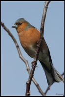 Chaffinch on a Twig by cycoze