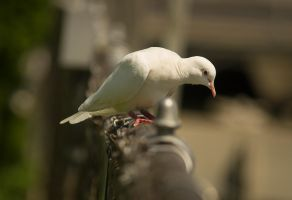 Albino Dove August - 2014 - 26 - 2 by toshema