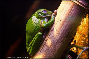 New Guinea Tree Frog by Marcello-Paoli