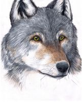 Timber Wolf Portrait by CreatTheCrow