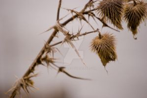 Cold Thistles I by carbyville