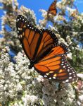 monarch butterfly 5 by kiwipics
