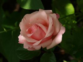 Pink Rose 02 by botanystock