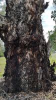 Old Gum Tree 8 by LuchareStock