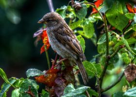 Sparrow HDR by teslaextreme