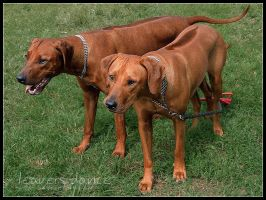 Rhodesian Ridgeback by leaversdance
