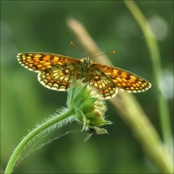 Little friend - The Butterfly by excence