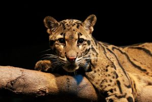Clouded Leopard Stock 2 by HOTNStock