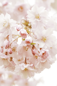 Cherry Blossoms by Lime-Street