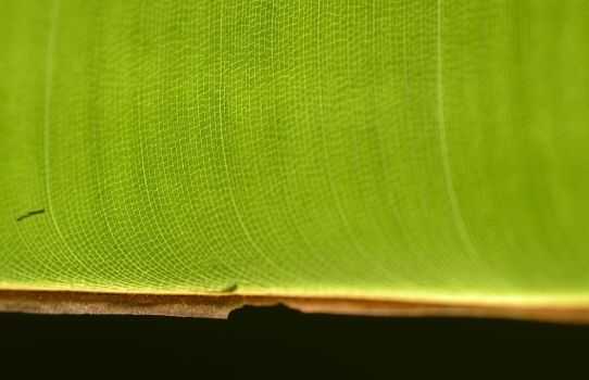 banana leaf in the sun by cognisant