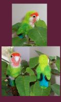 Peach Faced Lovebird by StCoraline