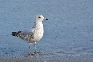 Gull stock 3 by PsycoJimi