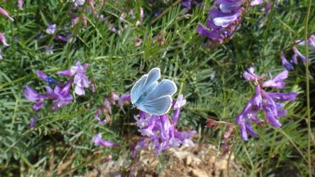 Common Blue Butterfly by AnonymousRabbitLover