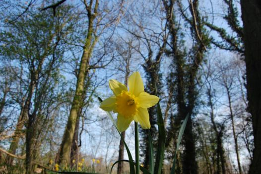 Daffodil - Summer Approaching by Blue-Rose-Thorns