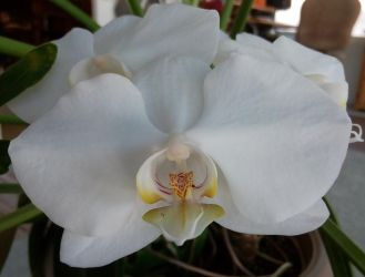White Orchid by Lesh4537