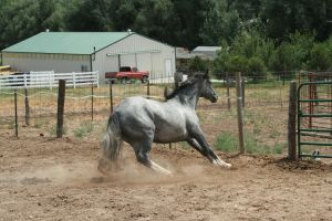 Blue Roan Stock 81 by tragedyseen