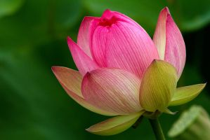 Lotus Flower III by carterr