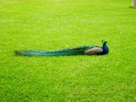 Peacock at Alcazar Palace by Nadia354