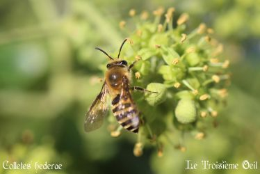 Colletes hederae by LeTroisiemeOeil