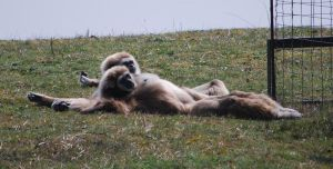 Gibbons Relaxation by NicamShilova