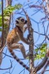 Ring-tailed Lemur (Lemur catta) by Azph