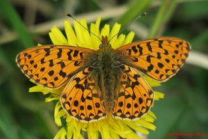 Pearl-bordered Fritillary by Terrydunk